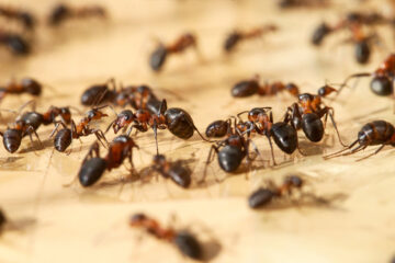 Formiche in sala d'attesa dell'ospedale di Pescia (Pistoia)