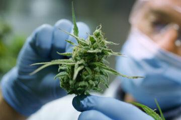 Cannabis, campano Il primo centro multidisciplinare in Italia per la ricerca sui cannabinoidi