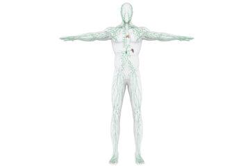 Midollo osseo, linfonodi e linfa:   architettura degli organi linfoidi